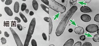 細菌の細胞膜に孔をあけるネオナイシン